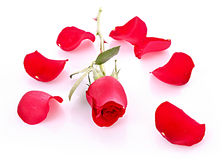 Red rose with fallen petals isolated Royalty Free Stock Photography