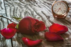 A red rose with falling petals lies on an old textured wooden table. In the background is a gold-plated clock. royalty free stock image