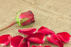 Red rose falling on a piece of vintage sackcloth. Red rose petals falling on a piece of vintage sackcloth Royalty Free Stock Photos