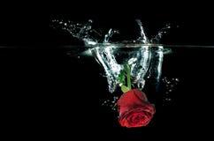 Red Rose falling on water splashing. Royalty Free Stock Photography
