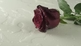 Red rose falling on white background with water slow motion stock footage video stock video
