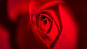 Red, Rose Family, Flower, Garden Roses stock photo