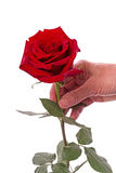 Red rose in a female hand Royalty Free Stock Photos