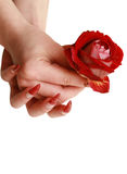Red rose for female hands Stock Image