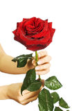 Red rose in female hands Stock Photography