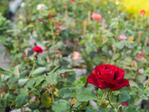 Red Rose in The Field. The Red Rose in The Field Stock Images