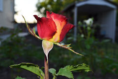Red rose. Fierily red rose in a bud macro in an evening garden Royalty Free Stock Photos