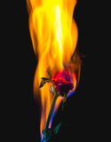 Red rose on fire Stock Photos
