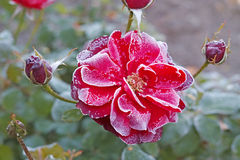 Red rose and the first frost Royalty Free Stock Photography