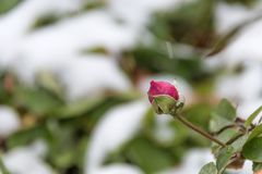 Red rose and the first frosts - a winter background royalty free stock photo