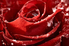 Red rose with flakes of snow Royalty Free Stock Image