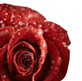 Red rose with flakes of snow Royalty Free Stock Photos