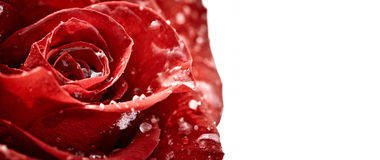 Red rose with flakes of snow Royalty Free Stock Images