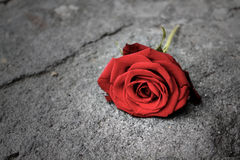 Red rose on the floor Stock Images