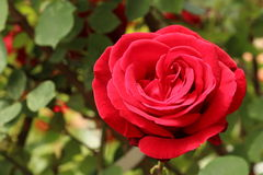 Red rose. Floral texture photographed in nature Stock Image
