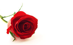 Red rose flower. Closeup photo of beautiful red rose flower Stock Image