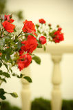 Red rose flower. Stone fence background Royalty Free Stock Image