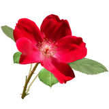 Red rose flower. With leaves Royalty Free Stock Photography