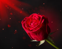 Red rose flower Royalty Free Stock Image