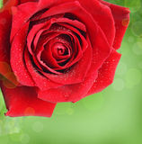 Red rose flower Stock Photography