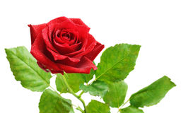 Red rose flower. Isolated on white Stock Photos