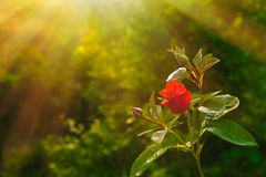 Free Red Rose Flower Stock Photography - 91809702