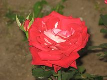 A red rose Stock Photography