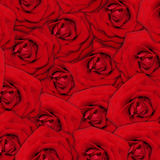 Red rose flower background. Royalty Free Stock Photo