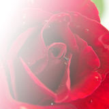 Red Rose Flower Stock Images