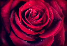 Red rose flower background Stock Photos