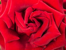 Red rose flower. Beautiful red rose flower blossom Royalty Free Stock Photos