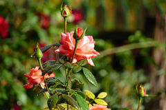 Red rose in flower bed. Stock Photos