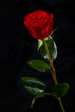 Red rose flower on black background Stock Photos