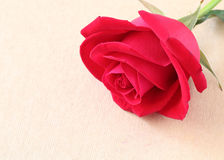 Red rose flower on blank paper page for creative Stock Photos