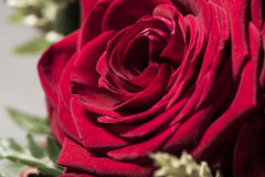 Red rose flower in bloom close up Royalty Free Stock Photography