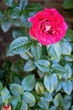 Red rose flower in bloom Royalty Free Stock Photo