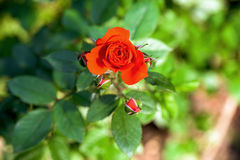 Red rose flower in bloom Stock Images