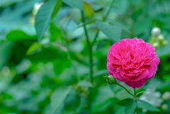 Red rose flower blooming in the garden stock image