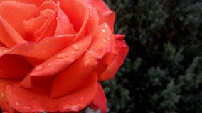 Red rose flower blooming in roses garden on background red roses flowers royalty free stock photo