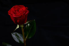 Red rose flower blossom Stock Image