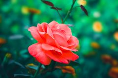 Red rose flower. Blossom. Red colors Stock Photography