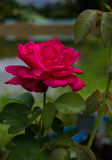 Red rose flower blossom in the garden. Stock Photography