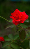 Red rose flower blossom in the garden. Royalty Free Stock Photo