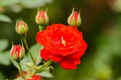 Red rose flower in a garden Stock Photography