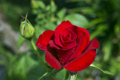 Red Rose flower. Blossom on green background Stock Images