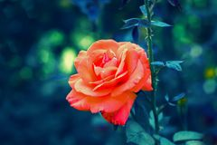 Red rose flower. Blossom in summer Royalty Free Stock Photo