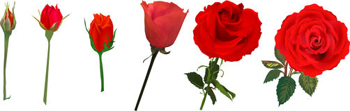 Red rose flower blossoming stages isolated on white Stock Photos