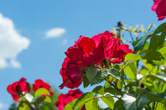 Red rose flower on blurred of blue sky background. Stock Photography