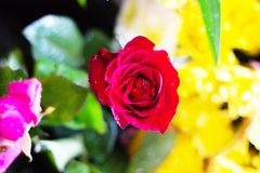 Red rose flower bouquet background , stock images