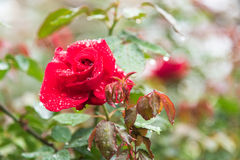 Red rose flower on branch with drops of dew in garden Stock Images